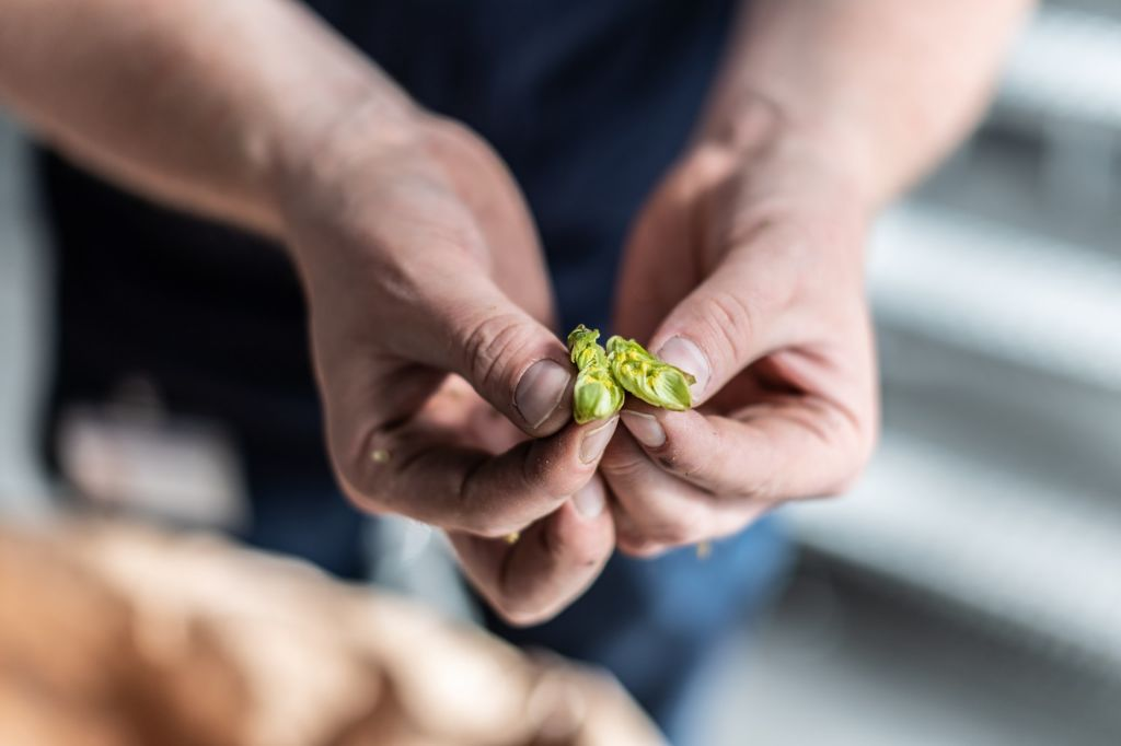 When brewers need to be quick off the mark: green-hop beer