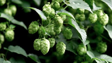 Grünes Gold – Seele des Bieres, Teil 1: Im Hopfenparadies