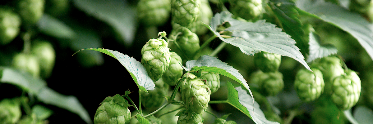 Green gold – the soul of beer, part 1: In a paradise for hops