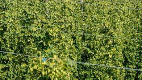 Vivaldi, pizza, and hops farming